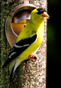 Terri Albertson - Golden Finch