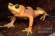 Critically Endangered Animals Prints - Golden Harlequin Frog Print by Dante Fenolio
