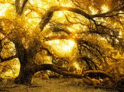 Golden Light Photos - Golden Oak by Robert Ball