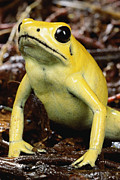 Frontal Metal Prints - Golden Poison Dart Frog Phyllobates Metal Print by Mark Moffett