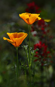 Golden Flowers Metal Prints - Golden Poppies Metal Print by Saija  Lehtonen