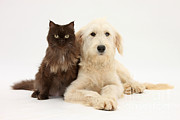 Goldendoodle Prints - Goldendoodle And Chocolate Cat Print by Mark Taylor