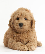 Goldendoodle Prints - Goldendoodle Puppy Print by Mark Taylor