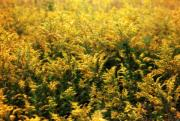 Goldenrod Wildflowers Prints - Goldenrod Print by June Marie Sobrito