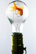 Glass Photo Posters - Goldfish in light bulb  Poster by Garry Gay