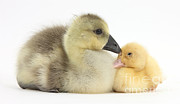 Baby Bird Photos - Gosling And Duckling by Mark Taylor