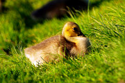 Baby Digital Art - Gosling In Spring by Paul Ge