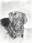 Chocolate Lab Drawings - Gozar by Mayhem Mediums