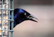 Anne Babineau Framed Prints - Grackle Framed Print by Anne Babineau