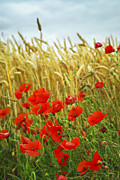 Poppy Photo Metal Prints - Grain and poppy field Metal Print by Elena Elisseeva