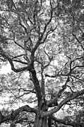 Huge Photo Prints - Granby Oak Print by HD Connelly