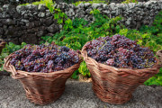 Wicker Baskets Prints - Grape harvest Print by Gaspar Avila
