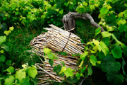 Grapevines Photos - Grape vines  by Gaspar Avila