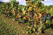 Grape Vines Photo Posters - Grapes growing on vine Poster by Bernard Jaubert