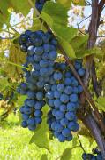 Sutton Photos - Grapes On A Vine Sutton Junction Quebec by David Chapman