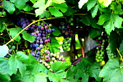 Purple And Green Posters - Grapes on the Vine Poster by Carol Groenen