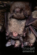 Hangs Upside Down Photos - Gray Bats by Dante Fenolio
