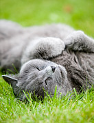 Enjoying Prints - Gray cat  Print by Kati Molin