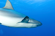 Reef Sharks Posters - Gray Reef Shark. Papua New Guinea Poster by Steve Jones