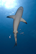 New Britain Posters - Gray Reef Shark With Remora, Papua New Poster by Steve Jones