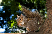 Squirrel Metal Prints - Gray squirrel Metal Print by Fabrizio Troiani