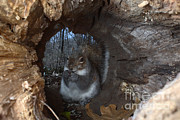 Sciurus Carolinensis Prints - Gray Squirrel Print by Ted Kinsman