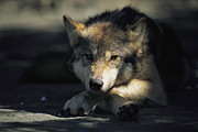 Roosting And Resting Posters - Gray Wolf Poster by Joel Sartore
