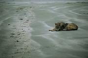 Roosting And Resting Prints - Gray Wolf On Beach Print by Joel Sartore
