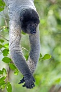 Neotropics Posters - Gray Woolly Monkey Poster by Tony Camacho