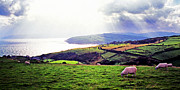 Antrim Framed Prints - Grazing Sheep County Antrim Framed Print by Thomas R Fletcher