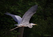 Brian Wallace Art - Great Blue Heron In Flight by Brian Wallace