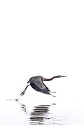Jason Smith Prints - Great Blue Heron Print by Jason Smith