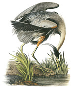 Great Blue Heron Paintings - Great Blue Heron by John James Audubon