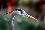 Shore Bird Originals - Great Blue Heron by Joseph G Holland