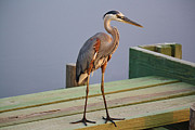 Great Blue Heron On The Block Print by Paulette  Thomas