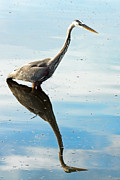 Great Neck Posters - Great Blue Heron Poster by Rudy Umans