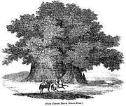 Great Chestnut Tree Print by Granger