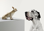 Great Dane Posters - Great Dane And Chihuahua Poster by Michael Blann