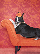 No Clothing Posters - Great Dane (canis Lupus Familiaris) On Couch Poster by Catherine Ledner