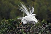 Egret Originals - Great Egret Bridal Train by Alan Lenk