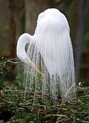 Proud Birds Acrylic Prints - Great Egret Acrylic Print by Janice  McCafferty