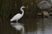Wade Fishing Photos - Great Egret by Mark Minor