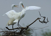 Mating Season Framed Prints - Great Egret Pair Framed Print by Bob Christopher