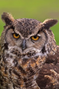 Feeds Photo Prints - Great Horned Owl Print by Alexander Rozinov