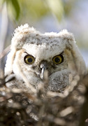 Head Shot Digital Art Prints - Great Horned Owl Babies Owlets in Nest Print by Mark Duffy