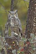 Morph Photo Posters - Great Horned Owl In Its Pale Form Poster by Tim Fitzharris