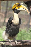 Hornbill Originals - Great Indian Hornbill by Padmanabhan Ramchander