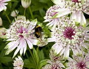 Gloucestershire Prints - Great Masterwort (astrantia Major) Print by Bob Gibbons