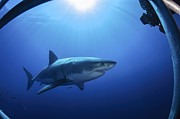 White Shark Prints - Great White Shark, Guadalupe Island Print by Todd Winner