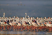 Greater Flamingos Framed Prints - Greater Flamingo And Lesser Flamingo Framed Print by Tim Fitzharris